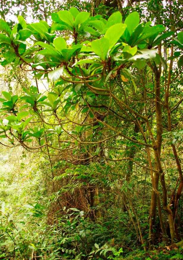 03 Ficus virescens - 23.jpg