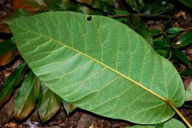 04 Ficus cereicarpa - 3.jpg