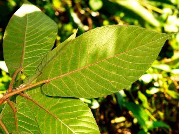 05 Ficus cereicarpa - 05.jpg