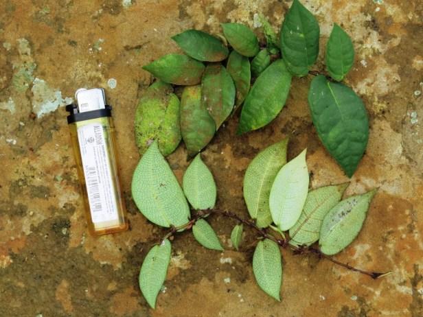 06 Ficus barba-jovis IMG_1011.JPG