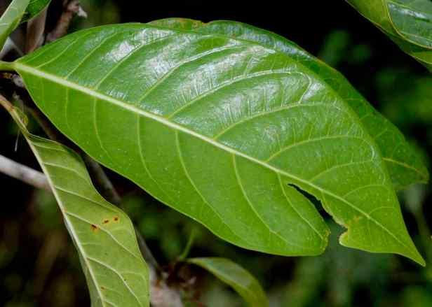 06 Ficus septica - 1.jpg