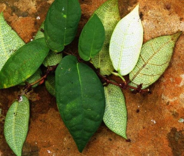 07 Ficus barba-jpvis IMG_1022.JPG