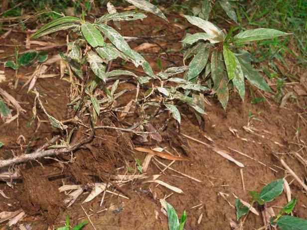 09 Ficus limosa - 18.jpg