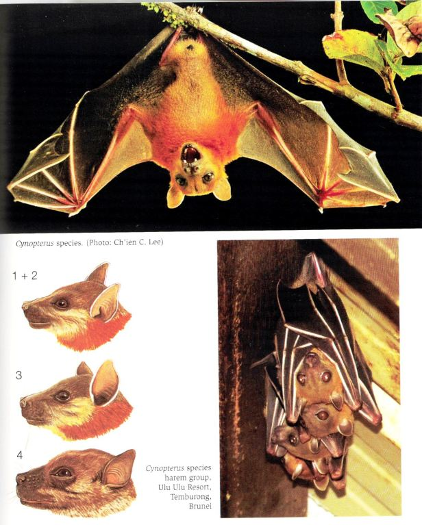 Cynopterus bats.jpg