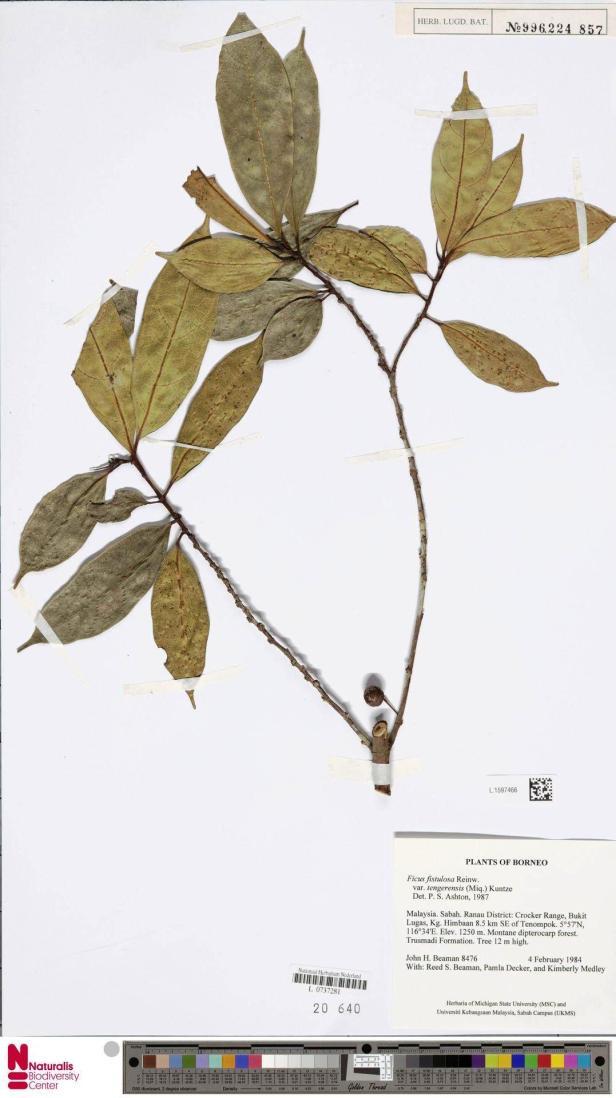 Ficus tengerensis Crocker Range (1984)