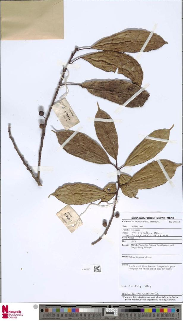Ficus tengerensis Pulong Tau (2007).jpg