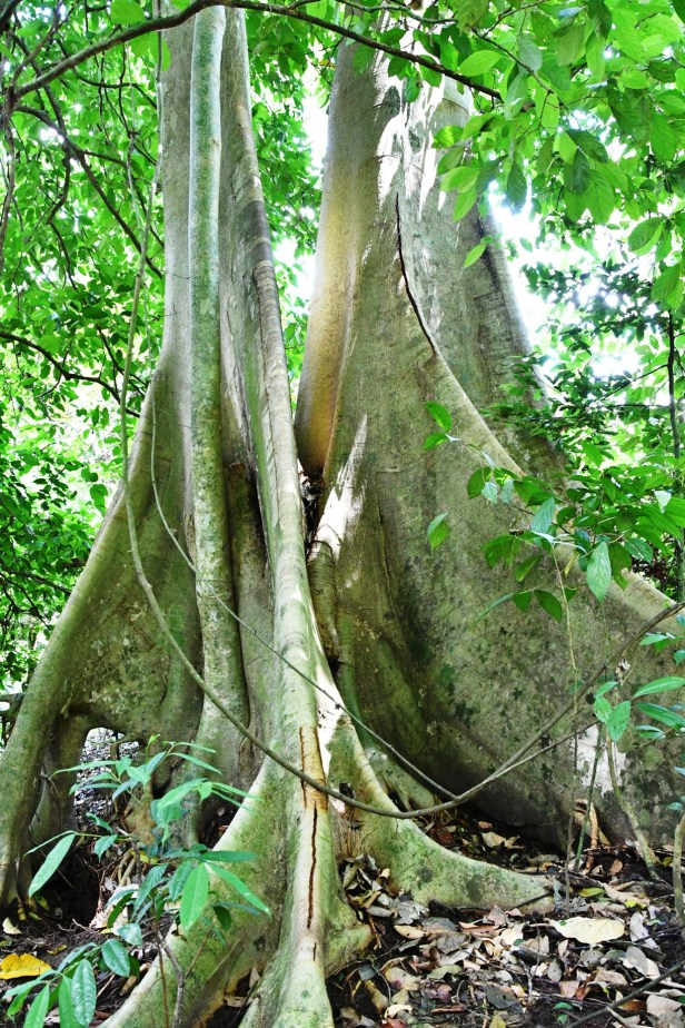 William Wong 2018_1646 Ficus nervosa Tabin.JPG