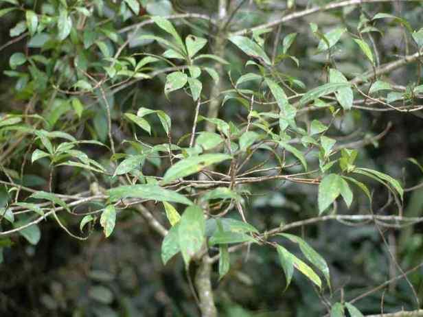 tarennifolia - 13.jpg