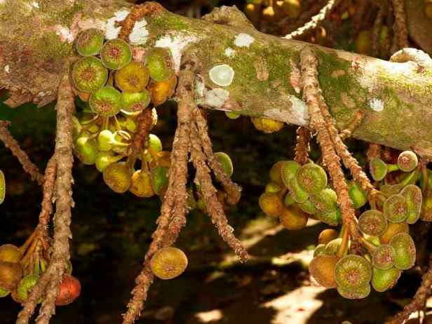 02 Ficus auriculata - 1.jpg