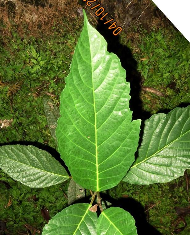 02  Ficus variegata IMG_0098.JPG