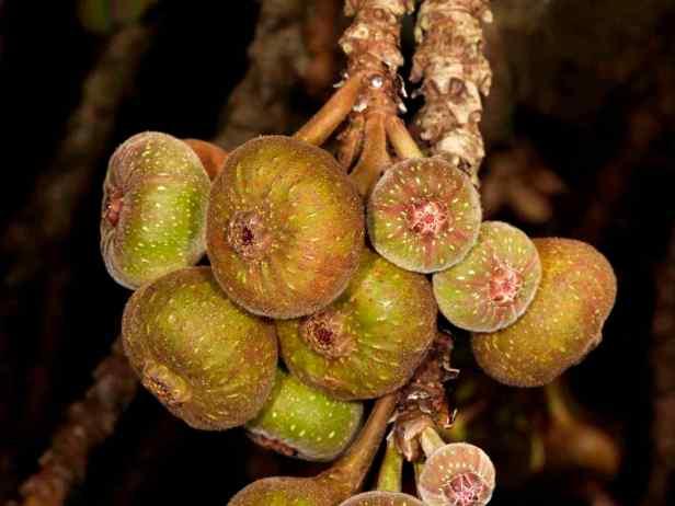 03 Ficus auriculata - 2.jpg