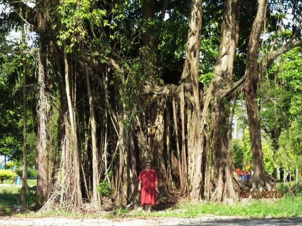 03 Ficus caulocarpa IMG_2866