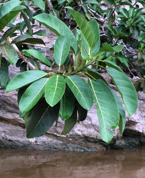 03 Ficus stupenda  3P7A7805.JPG