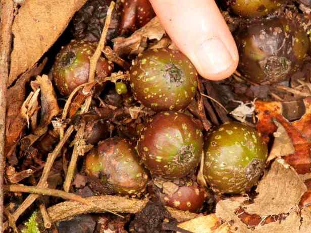 tarennifolia - 4