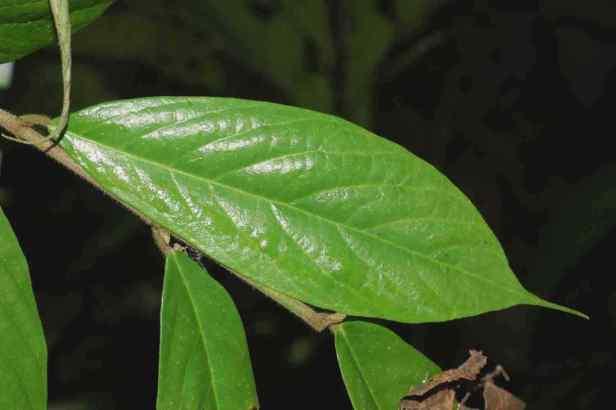 04 Ficus treubii - 03.jpg