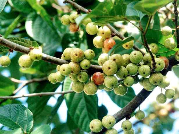 04 Ficus variegata - 5.jpg