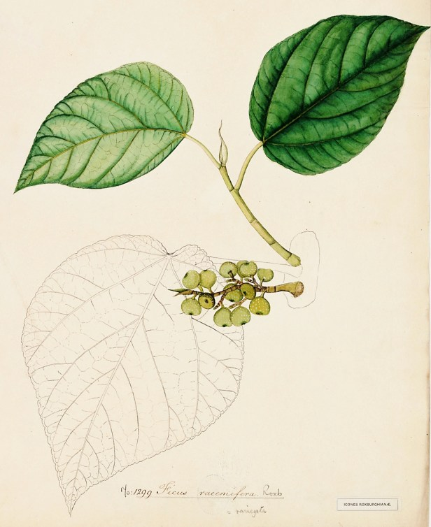 05 Ficus racemifera Roxburgh 1299 illus.jpg