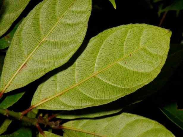 06 Ficus tarennifolia - 4.jpg