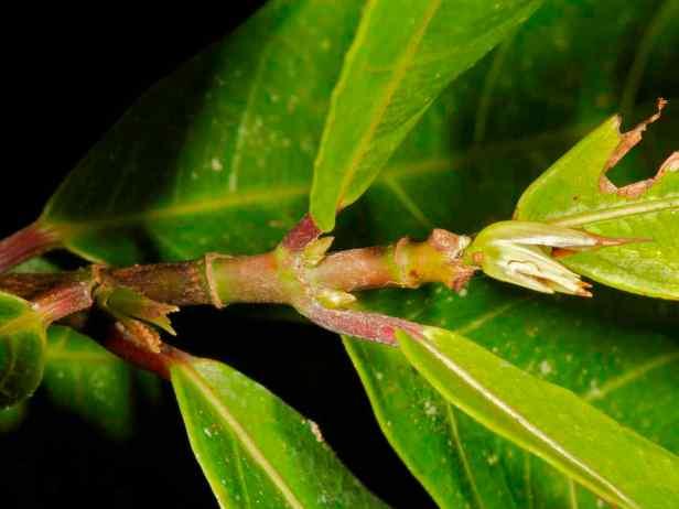 08 Ficus tarennifolia - 9.jpg