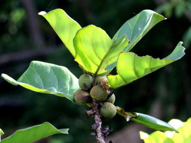 Enhanced Ficus lyrata 3Y3A2770.JPG