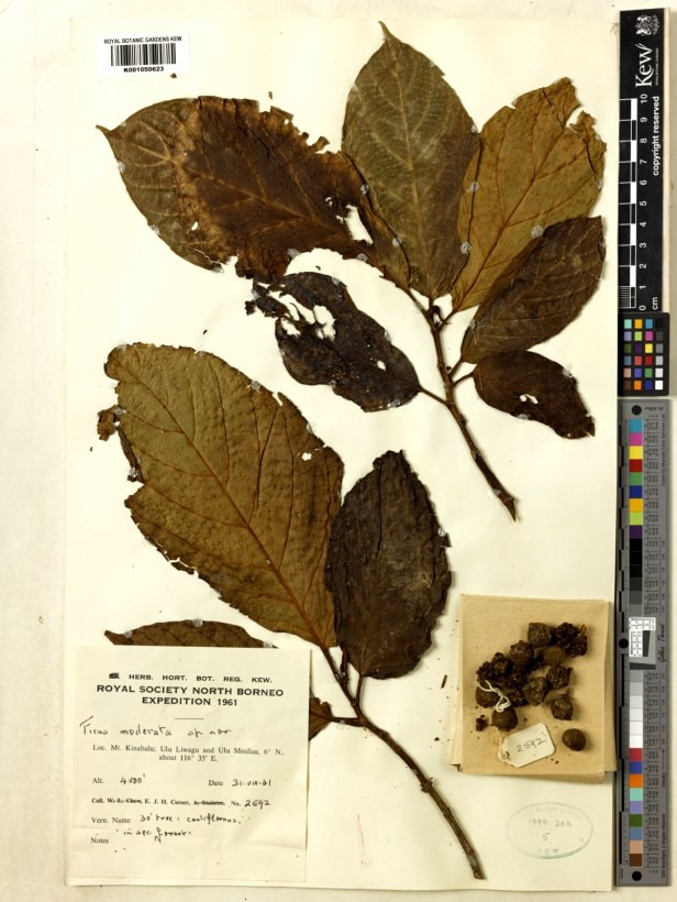 Ficus moderata RNSB  TYPE  31 Aug 1961 0 2.jpg