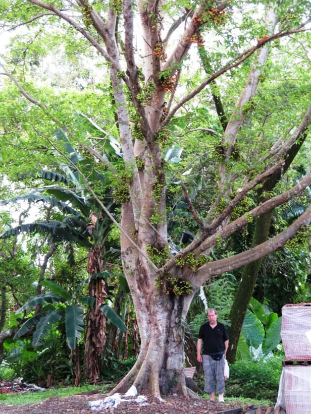 Ficus racemosa IMG_1774.JPG