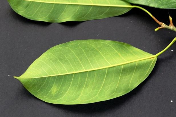 Ficus virens leaf.JPG
