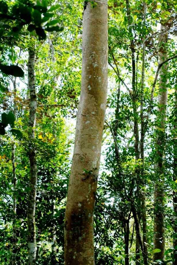 variegata - 2.jpg