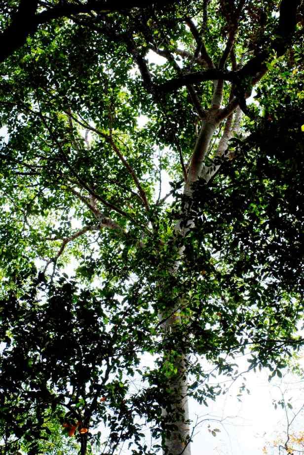 variegata - 4.jpg