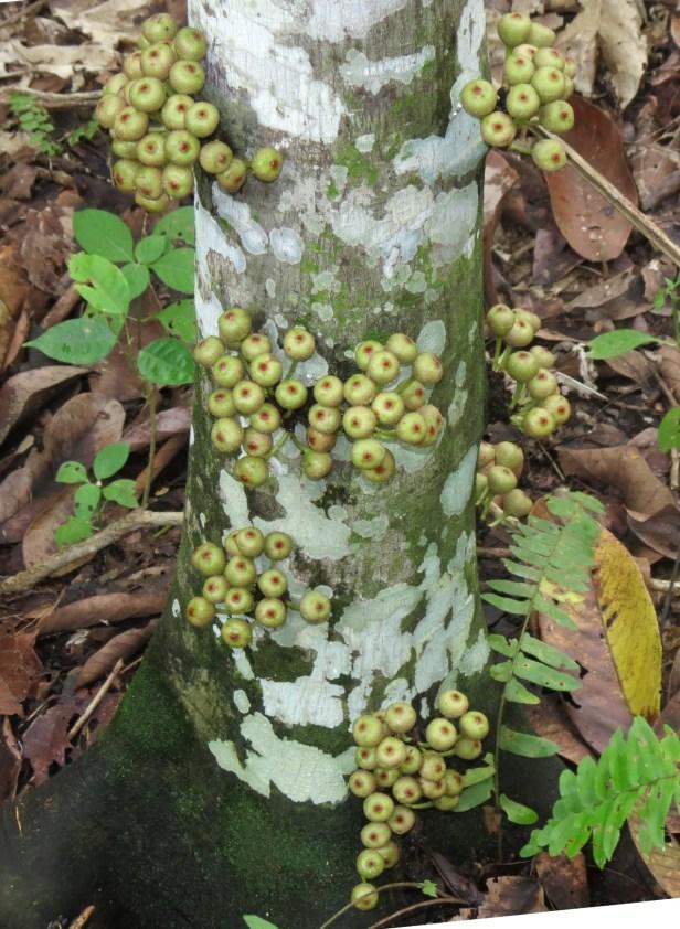 01 Ficus variegata IMG_3936