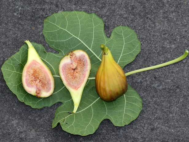 02 Ficus carica UK 3Y3A6040.JPG