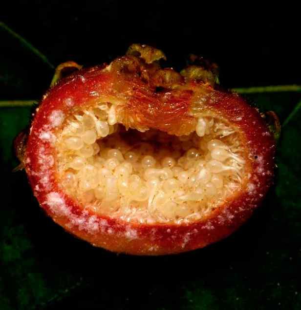 02 Ficus uncinata - 27 - Copy - Copy.jpg