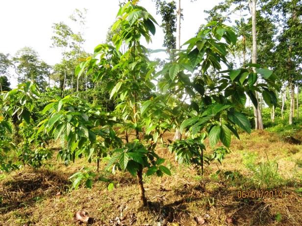 02 Ficus variegata IMG_8273.JPG