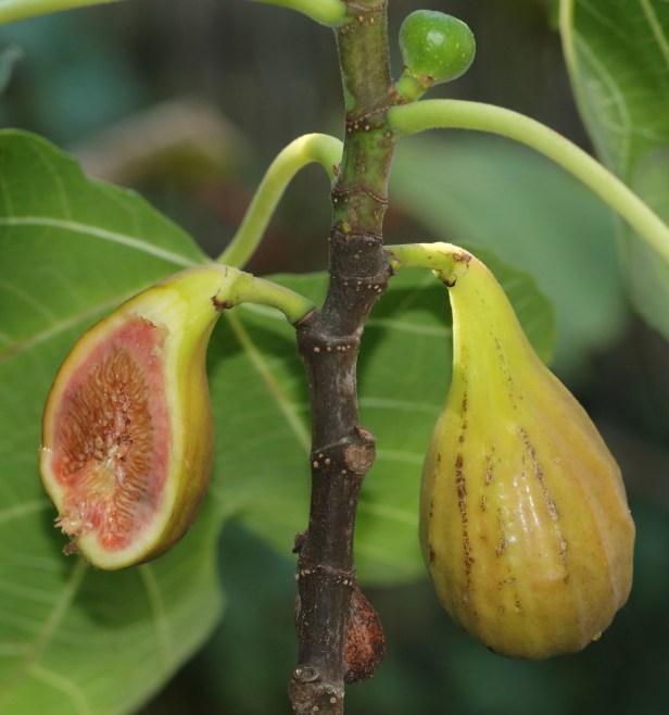 03 Ficus carica 3Y3A5985.JPG