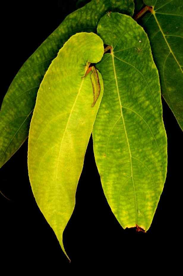 03 Ficus uncinata - 13.jpg
