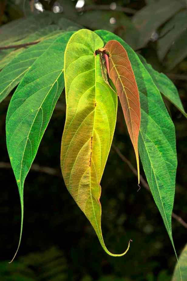 04 Ficus uncinata - 19.jpg