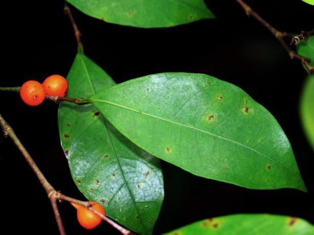 10 Ficus IMG_1733.JPG