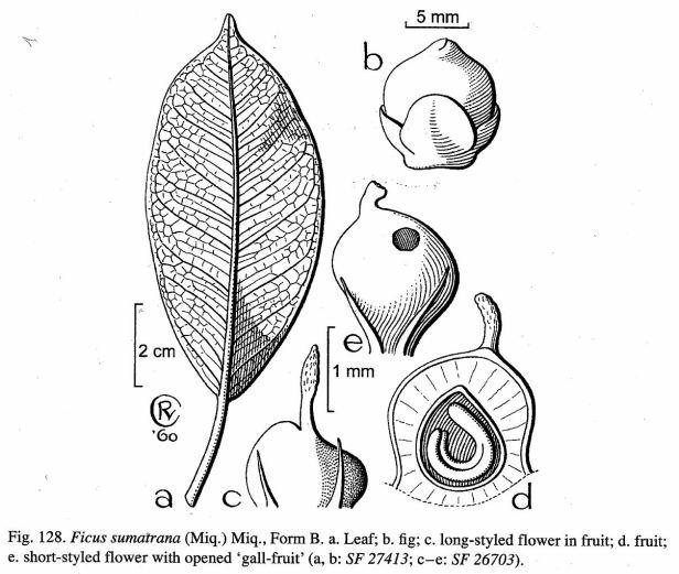 Ficus sumatrana Crevel.jpg