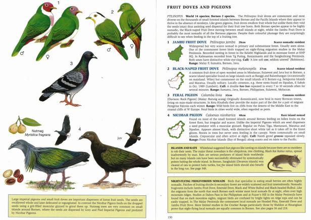 0008 03b Fruit Doves and Nicobar  - Copy.jpg