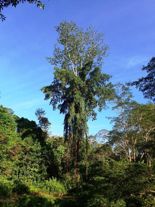 01 Anthea Crassiramea on binuang Ficus on other side of bridge. Tabin. May 2018 AP (569).JPG