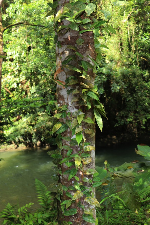 01 Ficus sagitata.JPG