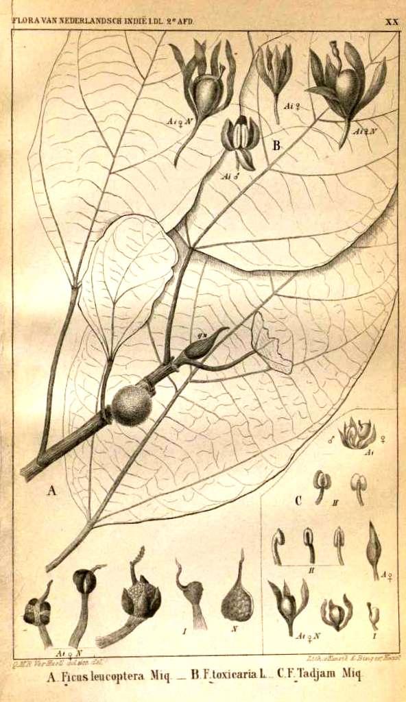 01 Ficus  tricolor 36691[1].jpg