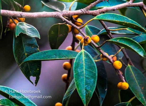 02 HH Ficus binendijkii BCW - Copy.jpg
