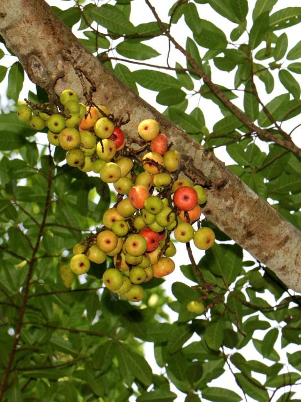 03 Ficus racemosa 3Y3A2730.JPG