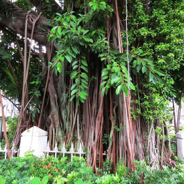04 Ficus elastica IMG_0970