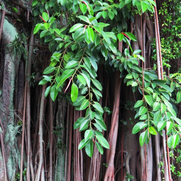 06 Ficus elastica IMG_0973.JPG