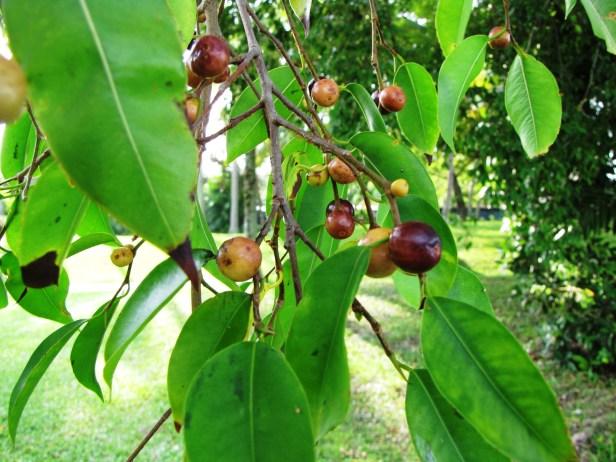 Ficus benjamina fruit IMG_2610.jpg