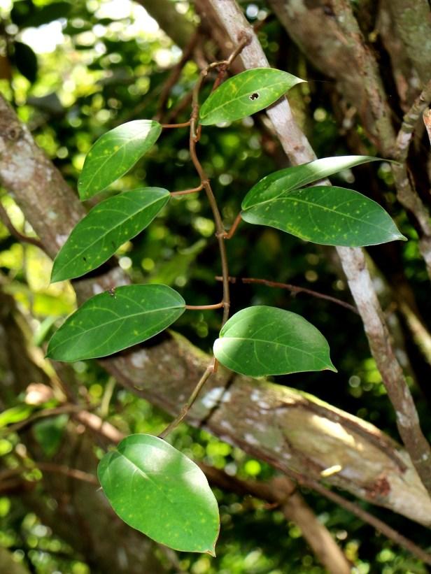 Ficus laevis 02 IMG_3337.JPG
