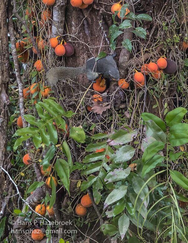 Ficus punctata and Prevosts (2)