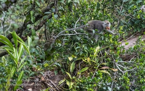 Ficus punctata and macaque 03.jpg